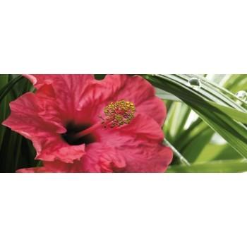 Hibiscus 1 centro 20x50